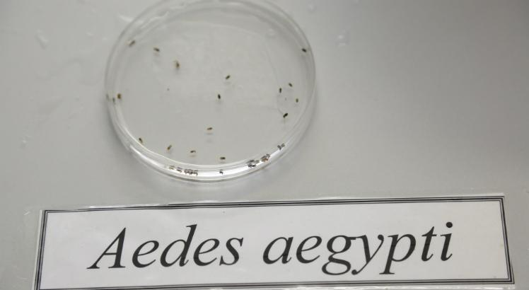 aedes_